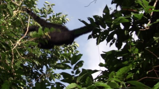 siamang gibbon swings through rainforest canopy, sumatra - tree canopy stock videos & royalty-free footage
