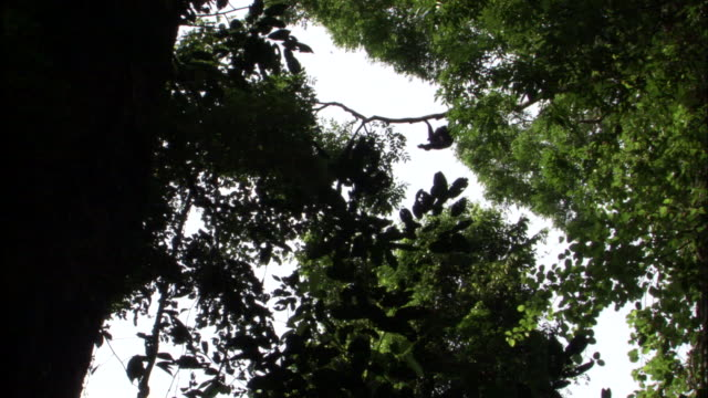 stockvideo's en b-roll-footage met siamang gibbons brachiate in rainforest, sumatra - schommelen bungelen