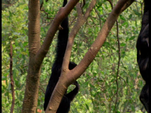 siamang gibbons swing around tree in synchrony - couple relationship stock videos & royalty-free footage