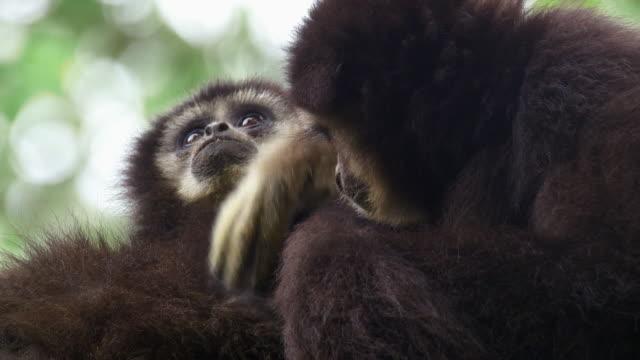 vídeos y material grabado en eventos de stock de siamang (symphalangus syndactylus) grooming another siamang's fur in mount halimun salak national park in indonesia - java