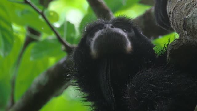 vídeos y material grabado en eventos de stock de siamang (symphalangus syndactylus) looking around in mount halimun salak national park, indonesia - java