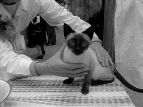 siamese cat competition; england: london: seymour hall: int high angle view exhibition hall / siamese cat taken from cage and placed on table / judge... - compton mackenzie stock-videos und b-roll-filmmaterial