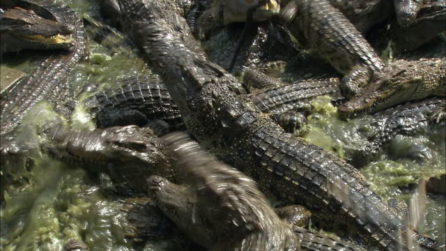 ms zi zo cu siamese crocodile feeding frenzy, cambodia - crocodile stock videos and b-roll footage
