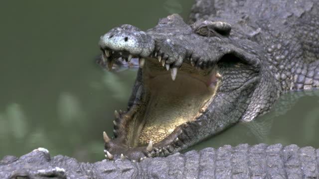Siamese crocodile, Vientiane National Park
