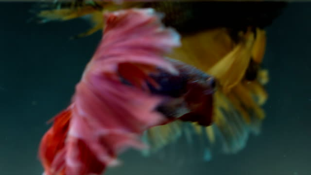Siamese fighting fish (Betta fish) acting together, MACRO, UHD 4K , 3840x2160 , 23.976