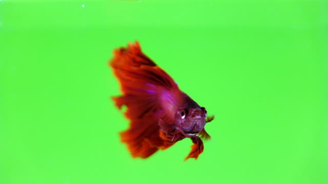 siamese fighting fish betta in color background - fish stock videos & royalty-free footage