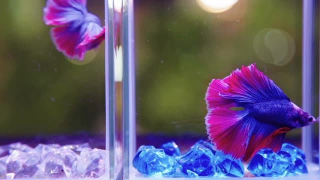 Siamese Fighting Fish Betta Splendens in the Bottles with Slow Motion.