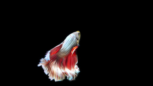 vídeos de stock e filmes b-roll de siamese fighting fish betta splendens on black background,slow motion - tropical climate