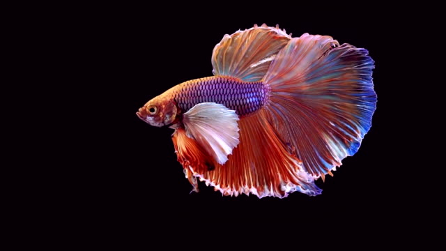 siamese fighting fish betta splendens - siamese fighting fish stock videos and b-roll footage