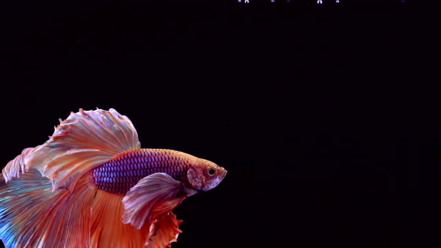 siamese fighting fish betta splendens - tropical fish stock videos & royalty-free footage