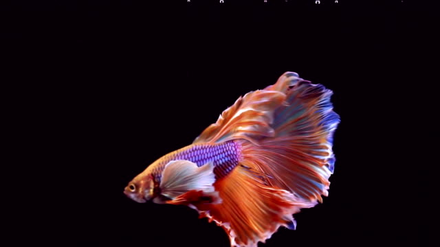 siamese fighting fish betta splendens - aggression stock videos & royalty-free footage