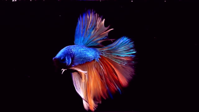 vídeos de stock e filmes b-roll de siamese fighting fish betta splendens - fundo preto