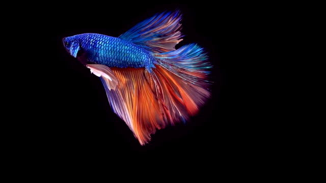siamese fighting fish betta splendens - aquarium stock videos and b-roll footage