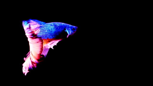 stockvideo's en b-roll-footage met siamese fighting vissen betta splendens - multi coloured