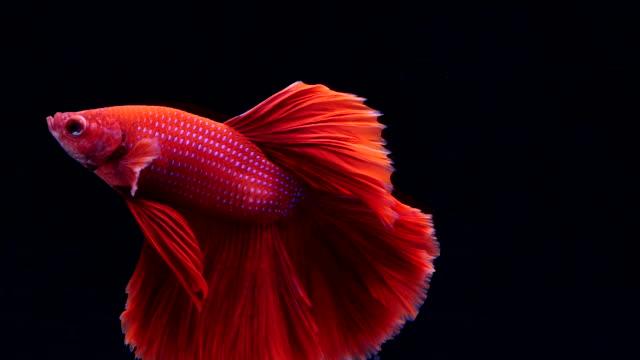 siamesiska kämpar fisk svart background.betta fisk - akvatisk organism bildbanksvideor och videomaterial från bakom kulisserna