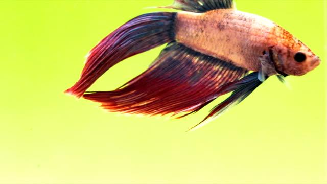 vidéos et rushes de siamese fighting fish (lavande betta splendens) en action, macro vidéo, prise de vue raw, 4 k résolution, 23.976 fps - touche de couleur