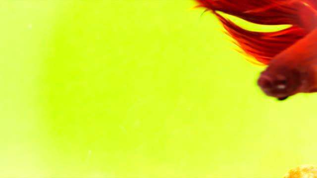 vidéos et rushes de siamois fighting fish (rouges solides betta splendens) en action, macro vidéo, prise de vue raw, 4 k résolution, 23.976 fps - touche de couleur