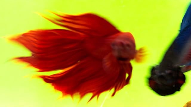 siamese fighting fish (solid reds betta splendens) in action, macro video,raw shooting, 4k resolution, 23.976 fps - siamese fighting fish stock videos and b-roll footage