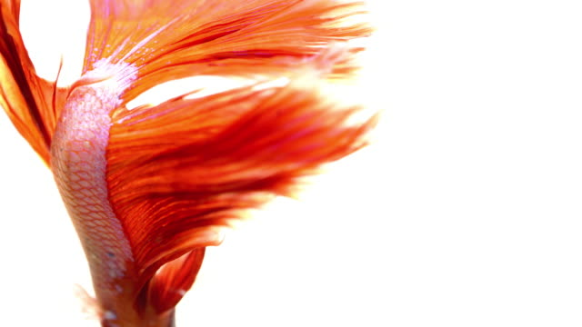 siamese fighting fish on white background - siamese fighting fish stock videos and b-roll footage