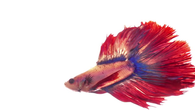 siamese fighting fish on white background - tropical fish stock videos & royalty-free footage