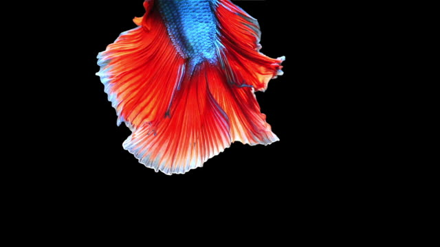 siamese fighting fish or betta fish on black background. - pampered pets stock videos and b-roll footage