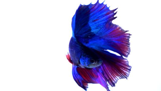 siamese fighting fish slow motion - animale in cattività video stock e b–roll