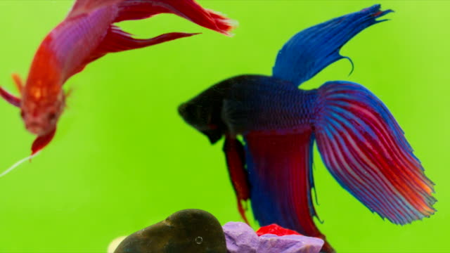 siamese fighting fish (betta splendens) swimming in a small glass bowl with multicolored piece of stone, macro video,raw shooting - siamese fighting fish stock videos and b-roll footage