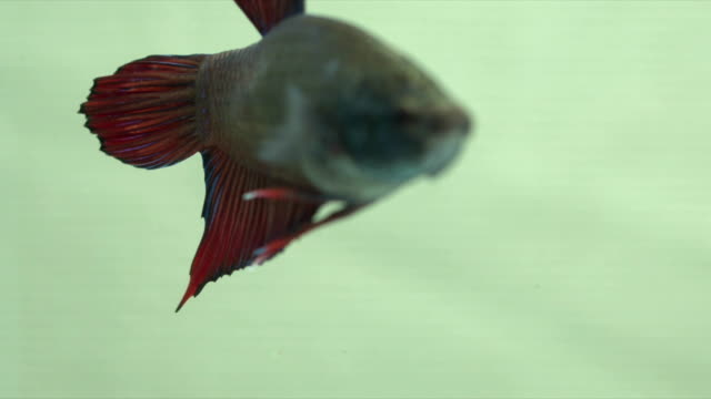 siamese fighting fish (betta) swimming in action with light green background, macro video, copy space, uhd4k,3840x2160,23.976fps - tropical fish stock videos and b-roll footage