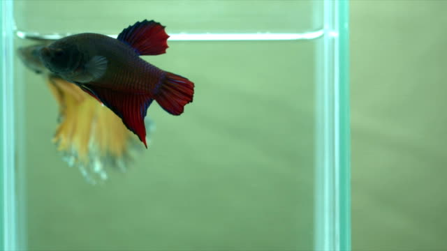 siamese fighting fish (betta) swimming in action with light green background, macro video, copy space, - anno 1920 video stock e b–roll