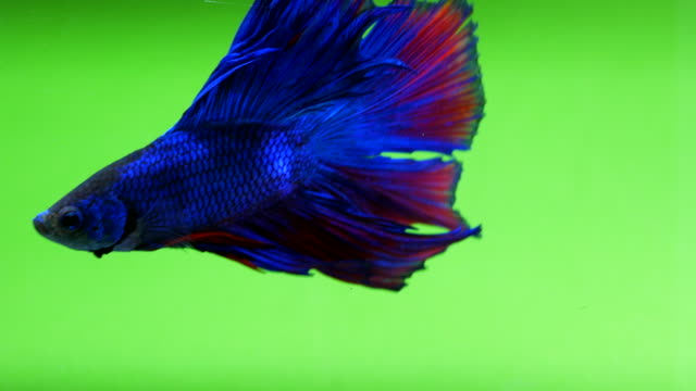 siamese fighting fish - fish stock videos & royalty-free footage