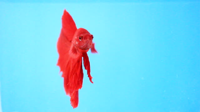 siamese fighting fish. - tail fin stock videos & royalty-free footage