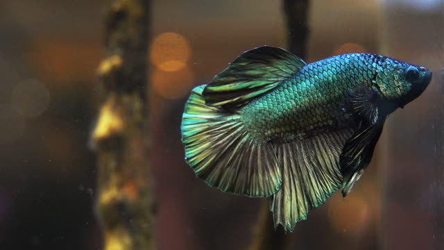 siamese fighting fish - combat sport stock videos & royalty-free footage