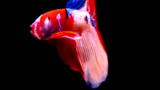 シャム戦魚 - 捕らえられた動物点の映像素材/bロール
