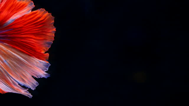 siamese fighting fish - animal fin stock videos & royalty-free footage