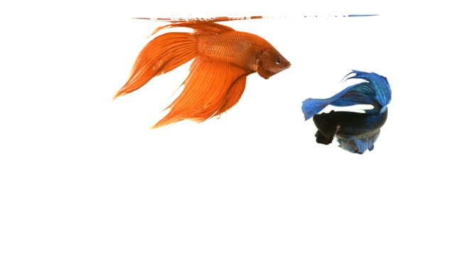 siamese fighting fish . - tropical fish stock videos & royalty-free footage