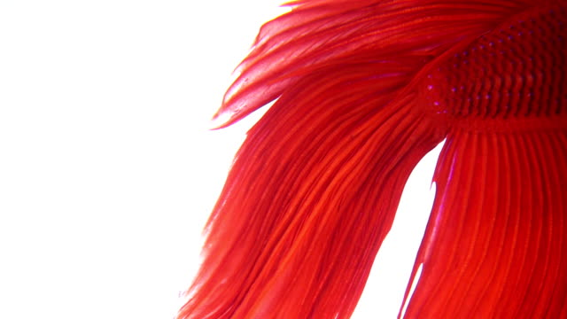 siamese fighting fish - siamese fighting fish stock videos and b-roll footage
