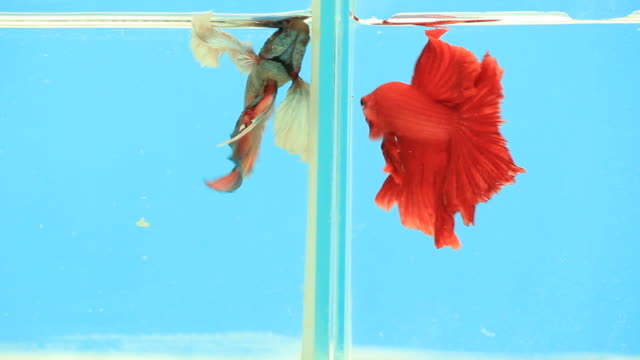 siamese fighting fish. - blue glass stock videos and b-roll footage