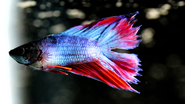 siamese fighting fish - sindh pakistan stock videos and b-roll footage