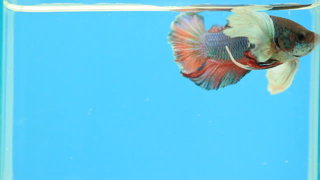 siamese fighting fish. - pampered pets stock videos and b-roll footage