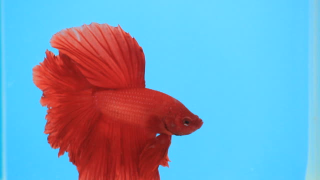 siamese fighting fish. - siamese fighting fish stock videos and b-roll footage
