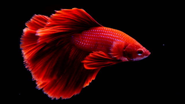 siamese fighting fish.betta - aquarium stock videos & royalty-free footage
