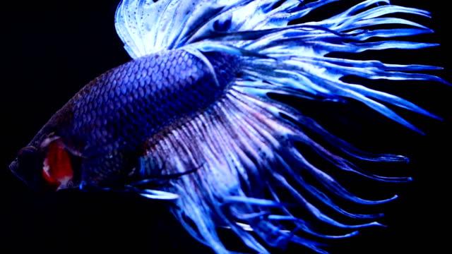 siamese fighting fish.betta - aquatic organism stock videos & royalty-free footage