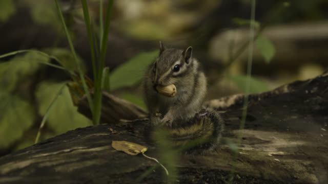 siberian chipmunk carries acorn away, japan. - streifenhörnchen stock-videos und b-roll-filmmaterial