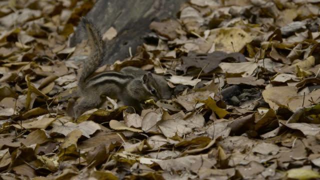siberian chipmunk carries leaves back to burrow, hokkaido, japan. - streifenhörnchen stock-videos und b-roll-filmmaterial