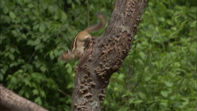 siberian chipmunk descends tree trunk, russia - streifenhörnchen stock-videos und b-roll-filmmaterial