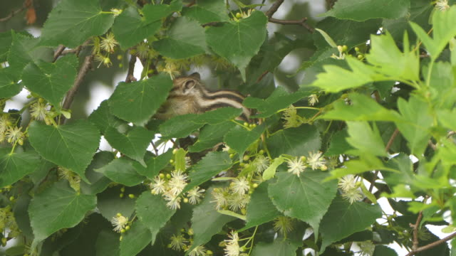 siberian chipmunk eat linden flowers (eutamias sibiricus) - khingan nature reserve, russia - chipmunk stock videos & royalty-free footage