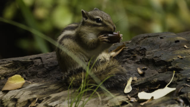 siberian chipmunk eats acorn, japan. - roditore video stock e b–roll