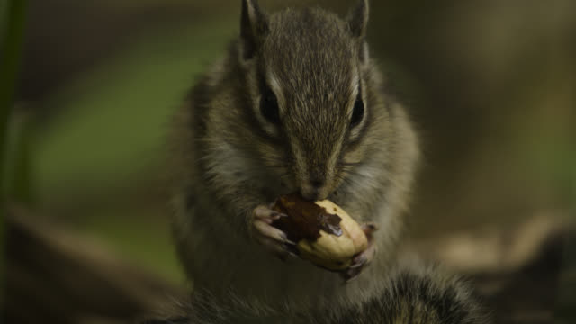 siberian chipmunk eats acorn, japan. - streifenhörnchen stock-videos und b-roll-filmmaterial