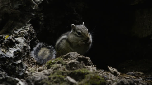 siberian chipmunk eats nut, hokkaido, japan. - streifenhörnchen stock-videos und b-roll-filmmaterial