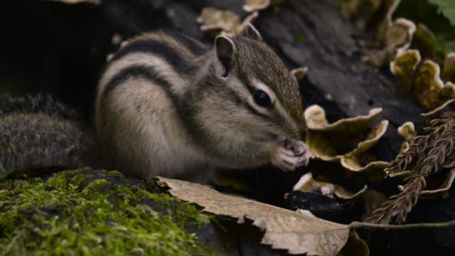 Siberian chipmunk eats nut, Hokkaido, Japan.